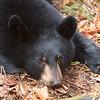 Image of Victoria taken October 2011. Victoria was born in 2011. Ursus americanus (American Black Bear).