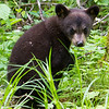 Image of Jo's cub Victoria taken June 2011. Victoria was born in January 2011.  Ursus americanus (American Black Bear).