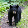 Image of Jo's cub Victoria taking August 2011. Victoria is Jo's first and was born in 2011. Ursus americanus (American Black Bear).