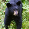 Image of Jo's cub Victoria emerging from the brush taking August 2011. Victoria is Jo's first and was born in 2011. Ursus americanus (American Black Bear).