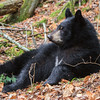 "Image of Victoria resting on a fall day taken October 2011. I like this image because you can really see her ""V"" blaze. Victoria was born in 2011. Ursus americanus (American Black Bear)."