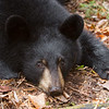 Image of Victoria taken October 2011. Victoria was born in 2011. Ursus americanus (American Black Bear).