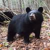 Image of Victoria taken October 2011.  Her mother Jo is in the background.   Victoria was born in 2011. Ursus americanus (American Black Bear).