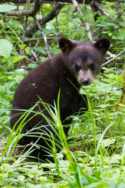 Image of Jo's cub Victoria taken June 2011. Victoria was born in January 2011.  Ursus americanus (American Black Bear).
