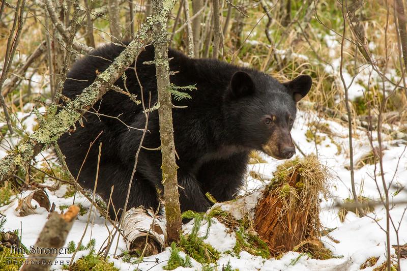 Image of Aspen in the snow late March 2012.  Aspen was born in January 2011. Ursus americanus (American Black Bear).