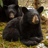 Image of Aster (and Aspen in the background) taken late March 2012.  Aster was born in January 2011. Ursus americanus (American Black Bear).
