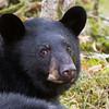 Image of Aspen, June's male cub taken October 2011. Aspen and his sister Aster were born in January 2011.  Ursus americanus (American Black Bear)