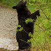 Image of Aspen eating willow catkins along a logging road taken May 2012.  Aspen was born in 2011. Ursus americanus (American Black Bear).
