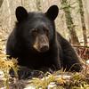 Image of Aspen taken late March 2012.  Aspen was born in January 2011. Ursus americanus (American Black Bear).