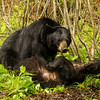 Image of June grooming Aspen taken late May 2012.  June was born in 2001 and Aspen in 2011. Ursus americanus (American Black Bear).