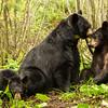 Image of June grooming Aspen taken late May 2012.  June was born in 2001 and the yearlings in 2011. Ursus americanus (American Black Bear).