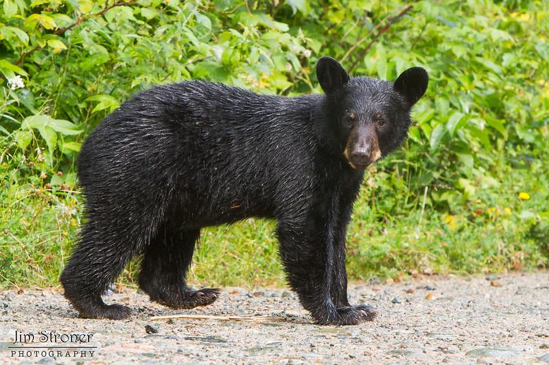 Image of June's female cub Aster taken in the rain August 2011. Aster was born in January 2011. Ursus americanus (American Black Bear).