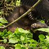 Image of Aspen resting taken late May 2012.  Aspen was born in 2011. Ursus americanus (American Black Bear).