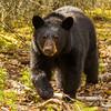 Image of Aspen taken April 2012. Aspen was born in 2011. Ursus americanus (American Black Bear).