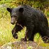 Image of Aspen in the rain taken May 2012.  Aspen was born in 2011. Ursus americanus (American Black Bear).