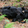 June and her two cubs Aspen (male - left) and Aster (female - lighter muzzle) resting after a day of foraging taken July 2011. Aster and Aspen were born in January 2011.  Ursus americanus (American Black Bear).
