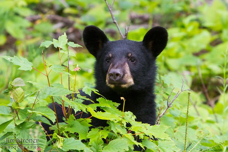 Image of June's male cub Aspen taken July 2011. Aspen was born in January 2011. Ursus americanus (American Black Bear).
