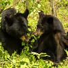 Image of June and Aspen eating Aspen leaves taken late May 2012.  June was born in 2001 and Aspen in 2011. Ursus americanus (American Black Bear).