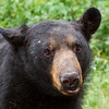 Image of Big Harry taken August 2011. He always has such an interesting look on his face. Ursus americanus (American Black Bear).