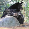 Image of brothers Bill and Jim as a yearlying taken October 2011.  They along with their brother Doug were born in 2010.  Ursus americanus (American Black Bear).
