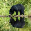 Image of Bill crossing old beaver damn taken July 2012.   Bill was born in 2010.  Ursus americanus (American Black Bear).