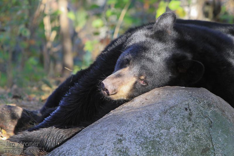 Image of Bill as a yearlying taken October 2011.  Bill was born in 2010.  Ursus americanus (American Black Bear).