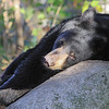 Image of Bill as a yearlying taken October 2011.  Bill was born in 2010.  Ursus americanus (American Black Bear).