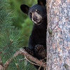 Image of Bill - one of RC's 3 male cubs taken July 2010. Bill was born in January 2010. Ursus americanus (American Black Bear).