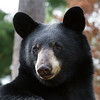 Image of Bill as a yearlying taken August 2011.  Bill was born in 2010.  Ursus americanus (American Black Bear).