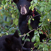 Image of RC's cubs eating berries taken July 2010. The cubs were born in January 2010. Ursus americanus (American Black Bear).