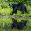 Image of unknown male bear crossing old beaver damn taken July 2012.   Ursus americanus (American Black Bear).