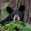 Image of Bill - one of RC's 3 male cubs taken August 2010. Bill was born in January 2010. Ursus americanus (American Black Bear).