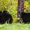 Image of Juliet's cub's Sharon, Shirley and a Boy Named Sue taken September 2010.  Winter coats have started growing in and the cubs are putting on weight before entering the den.   The cubs were born in 2010. Ursus americanus (American Black Bear).