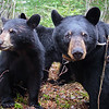 Image of June and cub Bud taken May 2008. Bud, Cal and Lily were born in 2007 and June was born in 2001. Ursus americanus (American Black Bear).