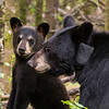 Image of June's male cub Cole taken late June 2013.  Cole was born in January 2013. Ursus americanus (American Black Bear).