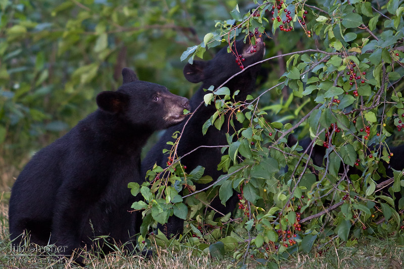 Image of RC's cubs eating berries taken July 2010. The cubs were born in January 2010. Ursus americanus (American Black Bear).