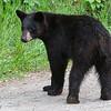 WRI-black-bear-0674