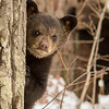 Image of Lily's cub Eli taken a few days after leaving their den in April 2013.  Cubs Eli and Ellie were born in 2013 and Llily was born in 2007. Ursus americanus (American Black Bear).