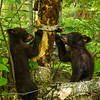 Image of Jewel's cubs Fern and Herbie foraging for ants taken June 2012.  Jewel was born in 2009 and the cubs in January 2011. Ursus americanus (American Black Bear).