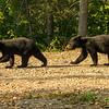 Image of Jewel's cubs Fern and Herbie taken August 2012.  Jewel was born in 2009. Ursus americanus (American Black Bear).