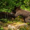 Image of Jewel's cubs Fern and Herbie playing taken June 2012.  Jewel was born in 2009. Ursus americanus (American Black Bear).