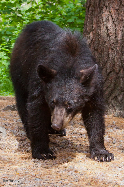 Image of Shadow's son JJ taken May 2010.  Shadow had two male cubs born in 2009 that looked exactly alike so there were both called JJ!  His coat looks thin as he is shedding his winter coat.   Ursus americanus (American Black Bear).