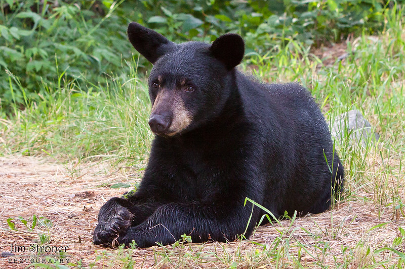Image of Shadow's son JJ taken July 2010.  Shadow had two male cubs born in 2009 that looked exactly alike so there were both called JJ!  Ursus americanus (American Black Bear).