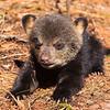 Image of Lily's cub Jason taken April 2011. Ursus americanus (American Black Bear).
