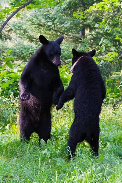 Image of RC's cub Jim and Juliet's yearling Shirley taken July 2010. Bill was born in January 2010. Ursus americanus (American Black Bear).