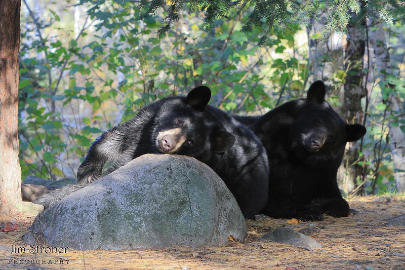 Image of brothers Bill and Jim as a yearlying taken October 2011.  I like the way Jim (right) tuned his head to match Bill.  They along with their brother Doug were born in 2010.  Ursus americanus (American Black Bear).