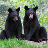 Image of brothers Jim and Bill taken taken May 2011. Jim and Bill were born in 2010. Ursus americanus (American Black Bear).