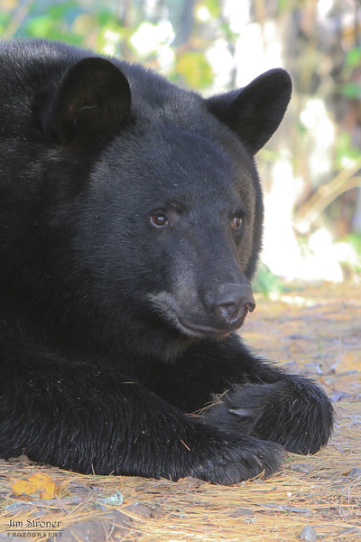 Image of Jim as a yearlying taken October 2011.  Jim was born in 2010.  Ursus americanus (American Black Bear).