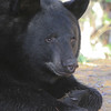 Image of Jim as a yearlying taken October 2011.  Jim was born in 2010.  Ursus americanus (American Black Bear).