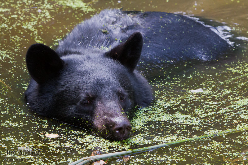 Image of Jim cooling off in a pond taking August 2011. Jim was born in 2010. Ursus americanus (American Black Bear).